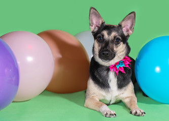 Funny dog mongrel with a bow on his neck among balloons on green background