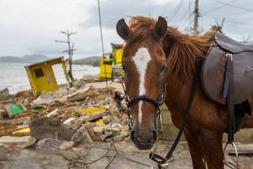 Paso Fino Horse on devastated beach the morning after Hurricane Maria