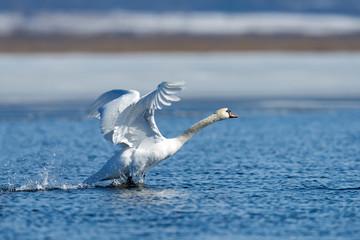 Swans taking flight on lake