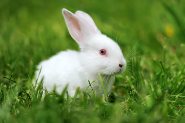 Wall Mural - Baby white rabbits in grass