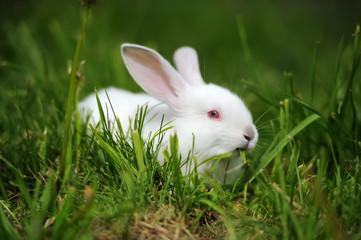 Fototapete - Baby white rabbits in grass