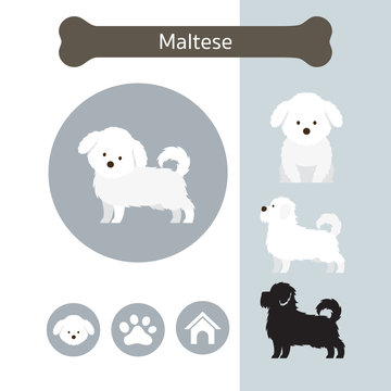 Maltese Dog Breed Infographic,  Front and Side View, Icon