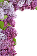 lilac flowers bunch isolated on white with copyspace