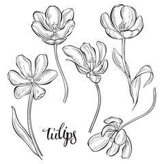 Tulips.Vector illustration, isolated floral elements for design. Monochrome illustration on white background. Sketch, outline.