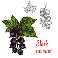 Black currant vector sketch fruit berry icon