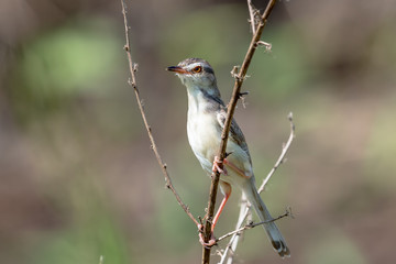 plain prinia  is a small warbler
