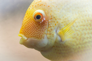 The blood parrot is a hybrid of the midas and the redhead Cichlid. This beautiful hybrid fish was first created in fresh water aquarium in Taiwan.