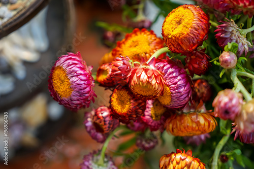 Colorful wild straw flower or golden everlasting decoration in colorful wild straw flower or golden everlasting decoration in shades of orange pink and purple mightylinksfo