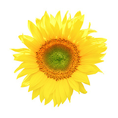 Sunflower isolated on white background (clipping path)