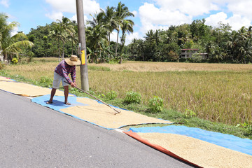 Peasant dry rice along the road on the island of Bohol in the Philippines