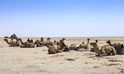 camels sitting on the desert sand