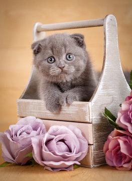 Gray Scottish Fold Kitten portrait. The kit looks out of its box. Flower decor.