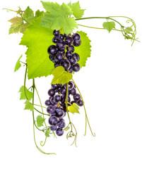 Wall Mural - grappe de raisin rouge et pampre de vigne