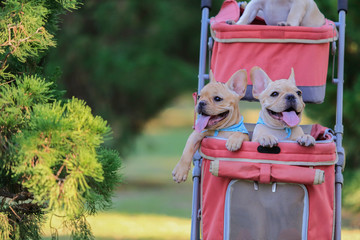french bulldog puppies in pink pet stroller at a park.