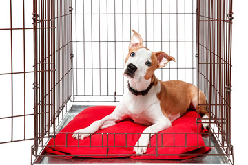 Dog in cage. Isolated background. Happy AST American staffordshire terrier lies in an iron box