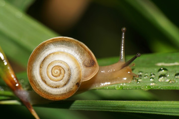 Macro of a caucasian garden snail with a shell on a green leaf
