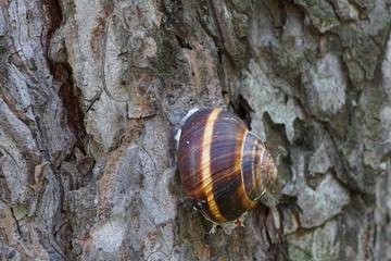 Close-up of the side view of a sleeping grape snail Helix pomatia on the bark of pine alpine Pinus mugo
