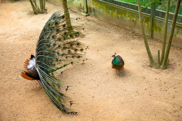 Peacock showing its beautiful feathers Spread tail-feathers are Flirt of peahen peacock are dating .