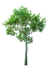 tree isolated cut out on white background with clipping path