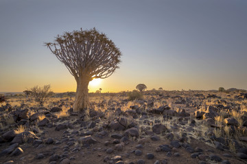 Quiver tree and rocks at sunset