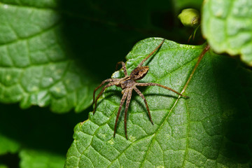 Macro view from above of a brown-gray young spider-wolf Arachnida sitting on a green leaf nettle in the foothills of the Caucasus