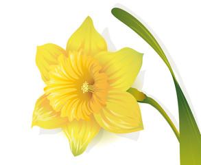 Osterglocke, Gelbe Narzisse, Frühlingsblume in der Osterzeit,  Vektor Illustration isoliert auf weißem Hintergrund