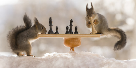 red squirrels with chess board in snow