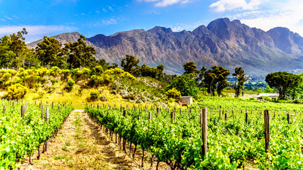 Foto auf Gartenposter Gelb Vineyards of the Cape Winelands in the Franschhoek Valley in the Western Cape of South Africa, amidst the surrounding Drakenstein mountains