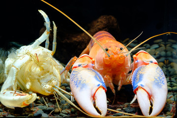 crayfish in the aquarium