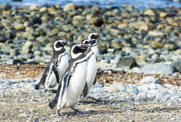 Four Magellanic penguins on Magdalena island in Chile