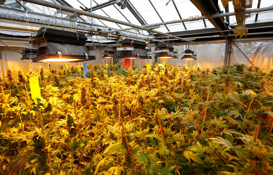 Cannabis buds are seen in a greenhouse at the headquarters of AGES in Vienna