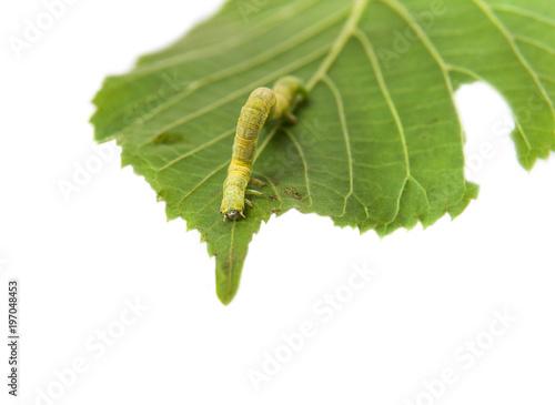 The larva or caterpillar of Geometer winter moth (Operophtera ...