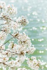White Cherry Blossoms Trees