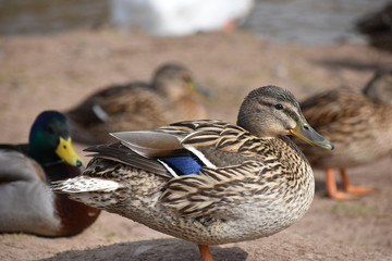 Closeup of a colorful female duck with many ducks in background on a lake in Germany