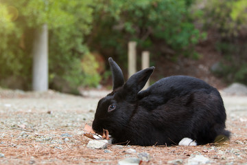 black rabbit with white paws eats dry leaves