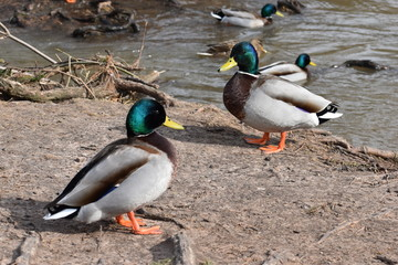 Closeup of two colorful ducks on a lakeshore in Kassel, Germany