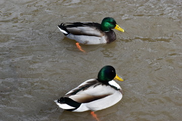 Closeup of two colorful drakes swimming in a lake in Kassel, Germany