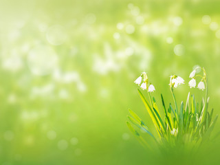 Snowdrop white flowers spring background