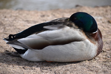 Closeup of a drake sleeping on a lakeshore in Kassel, Germany