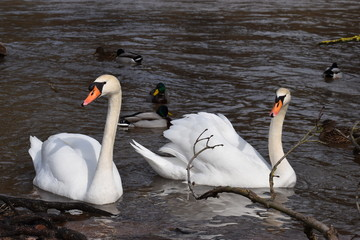 Closeup of two wonderful white swans swimming in a river with many ducks in background in Kassel, Germany