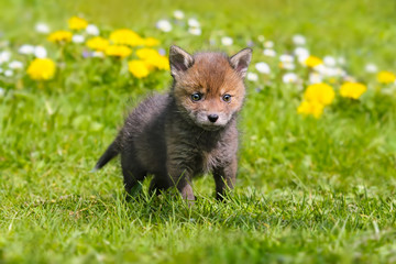 Red Baby Fox Kit standing in a spring meadow, Vulpes vulpes