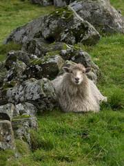 Schaf auf den Färöer sucht Wetterschutz hinter einer Mauer