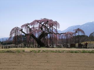 Large Cherry Blossom Tree of Shinden (Oito Zakura), Japan