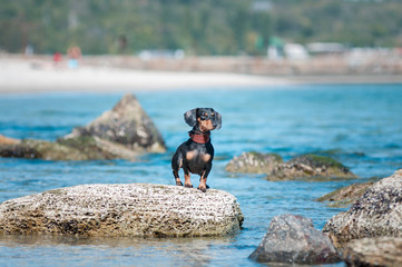 Miniature dog on stones at the sea.