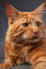 Male red solid maine coon cat with beautiful brushes on the ears is squinting on grey background. Closeup contast portrait.