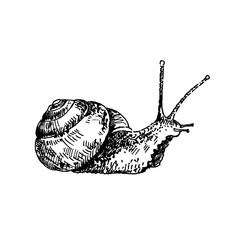 Hand drawn snail. Sketch, vector illustration.