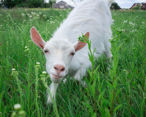 Close-up white goat grassing on green meadow at village countryside