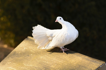 A white pigeon sitting on a wooden feeder at sunset. White dove as a symbol of peace. White dove at Castle Castolovice.