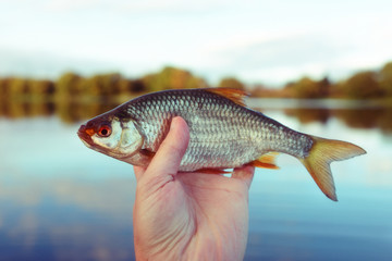Man is holding roach fish, toned image