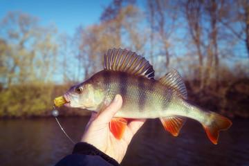 Perch in fisherman's hand, autumn, film toned, grainy